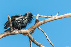 Estornino negro (Sturnus unicolor) (Enrique Fernandez Fernandez) Tags: naturaleza aves toledo lugares 2016 sturnusunicolor safont estorninonegro