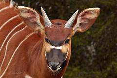 Bongo (K.Verhulst) Tags: arnhem bongo nl antilope burgerszoo