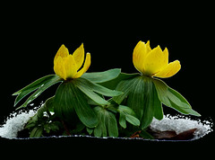 Winterlinge - Eranthis hyemalis (GuteFee) Tags: garten eranthishyemalis winterlinge