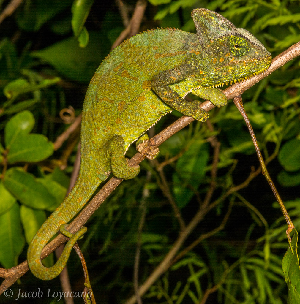 The World's Best Photos Of Lizard And Veiled