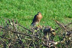 Sparrowhawk (AndyorDij) Tags: uk england field birds unitedkingdom raptor rutland sparrowhawk hedgerow 2016 empingham accipiternisus
