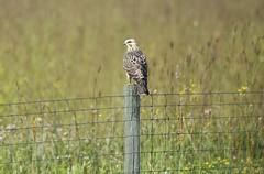 Swainson's Hawk (mobull_98) Tags: hawk raptor juvenile swainsonshawk juve august132015fwaweaseldragonjuviehawk