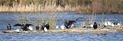 Cormorants and Gulls (rq uk) Tags: london cormorants nikon gulls d750 f8 dinton 12000 600mm dintonpastures iso900 tamron150600mmf563spdivcusd nikond750 rquk