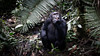 Fruit eater (Lil [Kristen Elsby]) Tags: africa travel nationalpark chimp topv1111 ape chimpanzee uganda primate chimpanzees travelphotography kibale kibalenationalpark canon5dmarkii