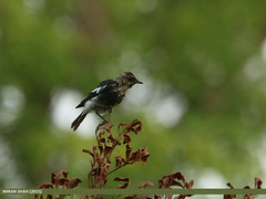 Pied Bush Chat (Saxicola caprata) (gilgit2) Tags: avifauna birds canon canoneos70d category fauna feathers geotagged imranshah islamabad location pakistan piedbushchatsaxicolacaprata rawallake sigma sigma150500mmf563apodgoshsm species tags wildlife wings gilgit2 saxicolacaprata 04birds