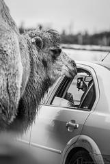 Camel (Fight The Light) Tags: blackandwhite bw photography blackwhite camel safaripark westmidlandssafaripark bactriancamel wmsp camelusbactrianus birminghamphotographer solihullphotographer fightthelight