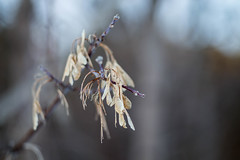 Branches (DmitryYushkevich) Tags: ca winter nature leaves canon russia outdoor canon50mm canon50mm18 ulyanovsk canon6d