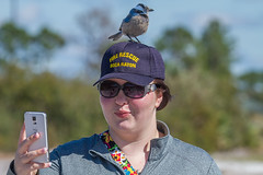 IMG_4297 (Bill Jelen) Tags: hat birding scrubjay rockledge birdonhat