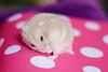 乌龙茶 (迷子昔話) Tags: pet animal hamster 宠物 动物 仓鼠 奶茶