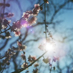 Ume blossom 02 (shige.lotus) Tags: hasselblad500cm proxar nd8 planar2880mm fujifujicolorpro160ns