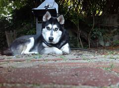 image (Gaelle P) Tags: white david black beautiful bowie eyes husky