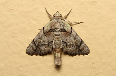 Eutelinae (Moth sp.) - South Africa (Nick Dean1) Tags: insect southafrica moth insects lepidoptera arthropoda krugernationalpark arthropod hexapod insecta lowersabie hexapoda eutelinae