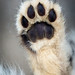 Hind paw