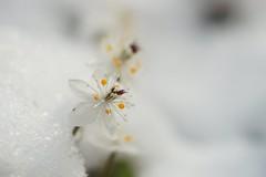 () /Coptis quinquefolia (nobuflickr) Tags: flower nature japan botanical kyoto   the garden  coptisquinquefolia awesomeblossoms    20160301dsc02711
