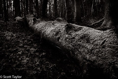 Fallen Tree (Scrufftie) Tags: uk england bw tree monochrome forest canon woodland landscape mono countryside blackwhite chilterns buckinghamshire style lightroom amersham gitzotripod canonef1635mmf4 canon5dsr