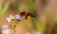 honey pot (Bec .) Tags: flower canon flying bokeh bee honey pollen bec honeypot northhaven 450d 55250mm