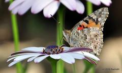 DSC_0133 (rachidH) Tags: flowers vanessa nature cosmopolitan blossoms egypt butterflies insects bee cairo papillon daisy blooms dame africandaisy cynthia paintedlady osteospermum vanessacardui blueeyeddaisy vanessedeschardons labelledame vanesse rachidh