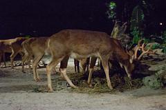 Lovely horns (Stinkee Beek) Tags: nightsafari