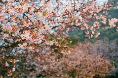 DSC07208 (sigma9988) Tags: pink flower cherry 50mm blossoms taiwan f18 花 台灣 淡水 櫻花 danshui 天元宮 櫻 粉 oreston gorlitz meyeroptik