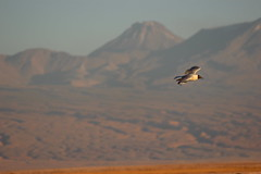 Flying High (Alison Claire~) Tags: chile travel travelling bird nature animal america canon de landscape outdoors eos san desert outdoor gull south pedro atacama traveling canoneos salar andean 600d canoneos600d