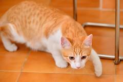 Gato Jinks  (5) x (adopcionesfelinasvalencia) Tags: gato jinks