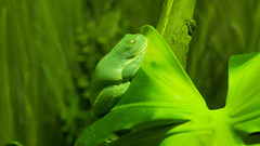 Red-eyed Tree Frog (ZeroOne) Tags: green leaf frog redeyedtreefrog litoriachloris epl3