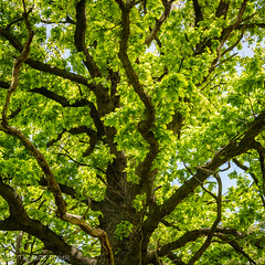 Can't wait to see them in green (Thomas Frejek) Tags: de deutschland quercus oaktree nordrheinwestfalen eiche hckermoor 2013 spenge
