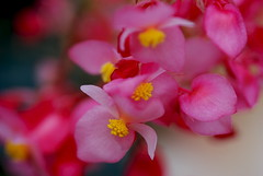 Pink Orchids (Renee Rendler-Kaplan) Tags: show pink flowers red plant macro yellow nikon colorful orchids bright blossoms over exhibit spray indoors northshore handheld inside blooms february botanicgarden wbez blooming chicagobotanicgarden chicagoist 2016 chicagoreader theorchidshow glencoeillinois nikond80 reneerendlerkaplan