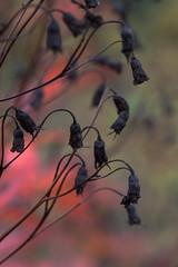 Autumnal colors 1 (JP Korpi-Vartiainen) Tags: red plant fall nature colors finland garden countryside october scenery colorful view seed september finnish picturesque tranquil autumnal kuopio maisema kasvi syksy luonto puutarha punainen siemen ruska maaseutu nkym syyskuu lokakuu vriks rauhallinen maalaismaisema siemenet maanviljely pohjoissavo talvehtia talventulo maalauksellinen jpko