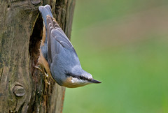 Boomklever - Sitta europaea (wimberlijn) Tags: bird nature animal wildlife natuur nuthatch sittaeuropaea vogel songbird statebird boomklever zangvogel nationaleparkdehogeveluwe standvogel