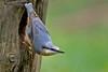 Boomklever - Sitta europaea (wimberlijn) Tags: bird nature animal wildlife natuur nuthatch sittaeuropaea vogel songbird statebird boomklever zangvogel nationaleparkdehogeveluwe standvogel