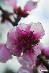 Spring 2016 (Peach Blossom) (RuiFarinha's Photography) Tags: flower macro tree portugal nature photography spring nikon photos pinkflower ilovephotography naturephotography pinkandpurple nikond3100 spring2016 portugalcrato