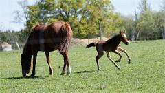 Jument et son poulain (ChantCarr) Tags: wildlife chevaux poulain mammifres bazas naturewatcher chantcarr wwwchantcarrcom tamron150600 nikond750 libreetsauvage wwwchantcarrwordpresscom lacdelapradebazas