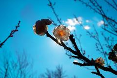 To a new season (sonica@2006) Tags: new blue sky flower japan backlight season for was very good plum it fujifilm to fujinon shaking shined xm1 platinumheartaward xf35mm
