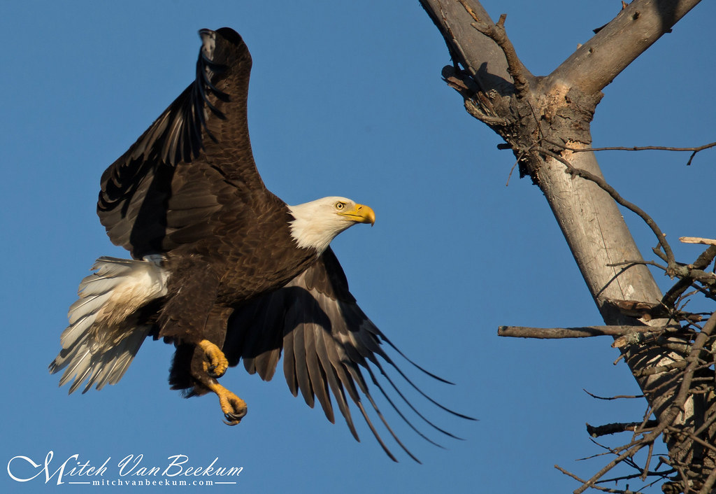 Returning Home - Amercian Bald Eagle