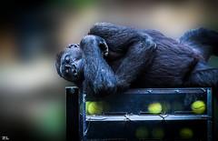 The star is born... (roland_lehnhardt) Tags: animals munich zoo tiere dof gorilla bokeh tierpark gorillas schrfentiefe hellabrunn unschrfe menschenaffen