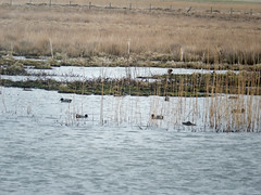 Teal and a mallard or two at Marwick (Dunnock_D) Tags: uk bird water grass birds swimming reeds scotland duck pond orkney unitedkingdom teal ducks grasses lochan marwick theloons