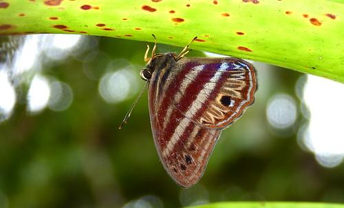 P1470678 Euselasia orfita