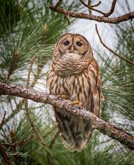 Barred Owl (Liza Morffiz) Tags: florida owl barred