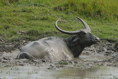 KAZ_024 (soggy_3_16) Tags: birds buffalo nikon wildlife 70300 kaziranga d90