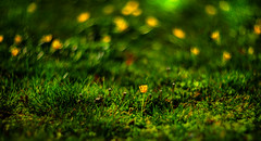 The Songs of Spring - IV. Starry, Starry Night (Howard L.) Tags: bokeh manualfocus starrynight buttercups manualexposure closeupkit canoneos5dmarkiii helios402c85mmf15
