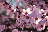 I Cannot Get Enough! (Cam Miller 2017) Tags: macro closeup spring plumblossoms pinkblossoms