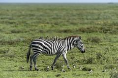 zebra on a stroll with 21 of his friends (charlesgyoung) Tags: africa tanzania nikon zebra d3 serengetinationalpark wildlifephotography charlesyoung nikonfx nomadtanzania karineaignerphotographyexpedition