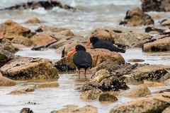 Abel Tasman - 05 (coopertje) Tags: ocean park newzealand bird beach coast national southisland abel tasman nieuwzeeland variableoystercatcher