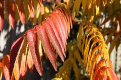 IMG_5763 (baskill) Tags: blue autumn red tree yellow gold golden brighton colours sumac
