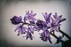 Bluebells (MacBeales) Tags: flowers blue bluebells canon eos 350d nik plugins