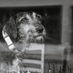 The dog behind the window (gwelr) Tags: blackandwhite dog monochrome flickr 2016 c11 darktable gwelr