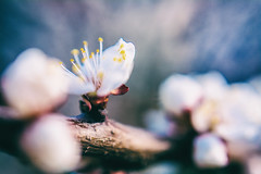 April bloom (Frostroomhead) Tags: plants macro art nature up closeup lens spring nikon close blossom f14 sigma bloom april apricot blooming 30mm d5200