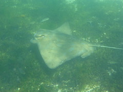 Eagle ray swiming (Figgles1) Tags: beach ray snorkel eagle stingray south snorkeling rays fremantle groyne southbeach stingrays fsc eagleray southfremantle eaglerays fremantlesailingclub p1020039