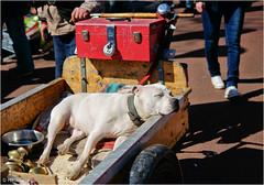 Harmless (Hindrik S) Tags: dog hound hond hûn hund lazy lui karre kar cart street straat strjitte streetphotography straatfotografie fleemarket koningsdag kingsday sonyphotographing sony sonyalpha a57 α57 slta57 tamron tamron1750 tamronspaf1750mmf28xrdiiildasphericalif 1750 2016 strjitfotografy streetphoto amount strasenfotografie strase